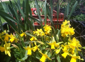 Fresh daffodils to help brighten up the restaurant.  Visit Kirklin Gardens at the Bank St. Market for some of the most beautiful and unique flowers!