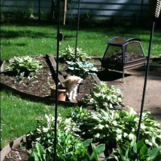 View of the hosta world with our garden assistant!